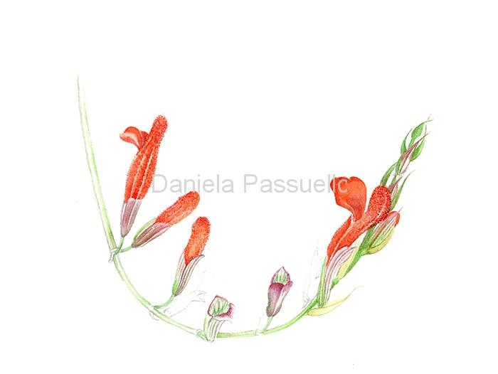 Fiore di Salvia.jpg