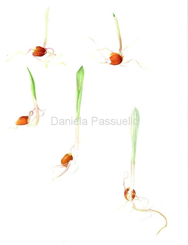 Mais rostrato rosso di Rovetta-semi.jpg