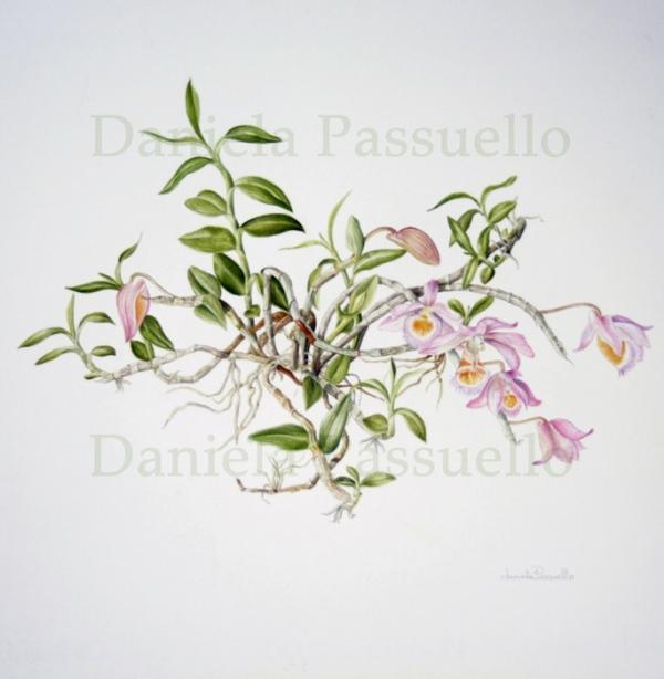 Dendrobium loddigesi